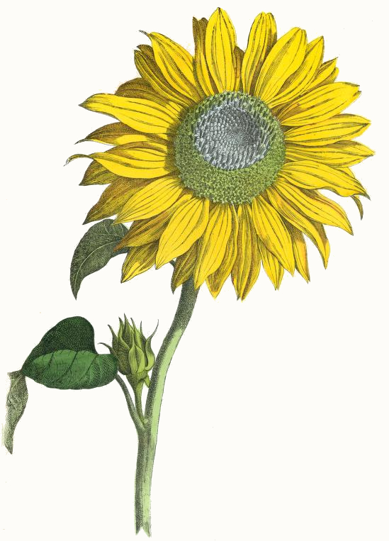 Sunflower clipart tall sunflower. Giant drawing reusableart com
