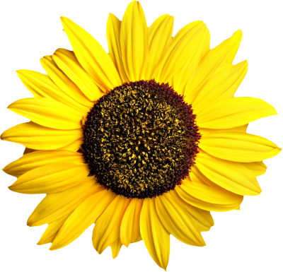 Sunflower clipart transparent. Download sunflowers free png