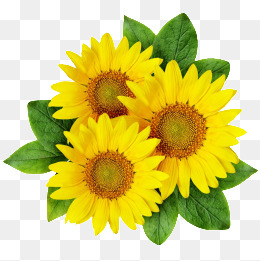 Sunflower clipart. Png images download resources