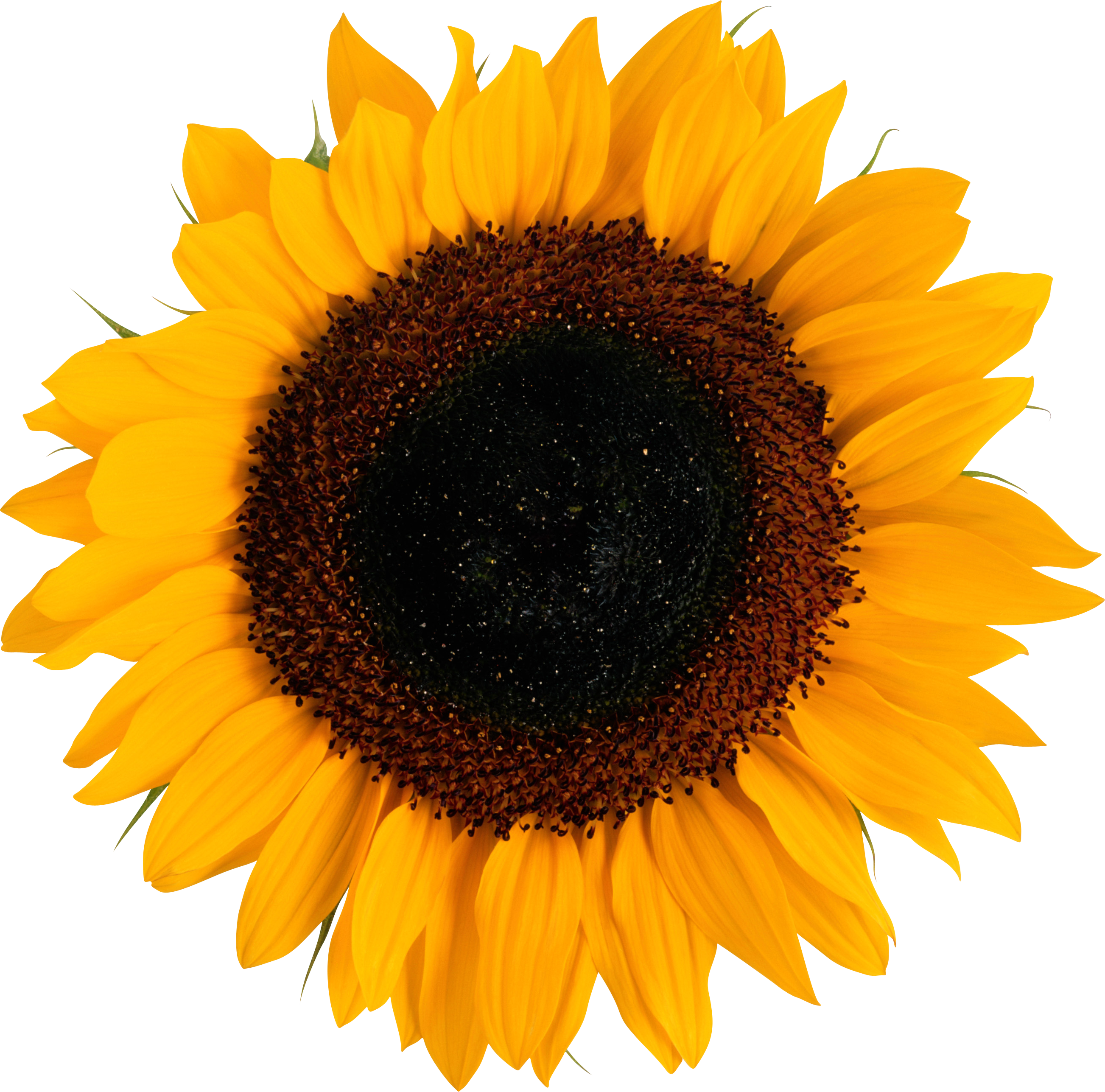 Sunflower clipart realistic. Png images free download