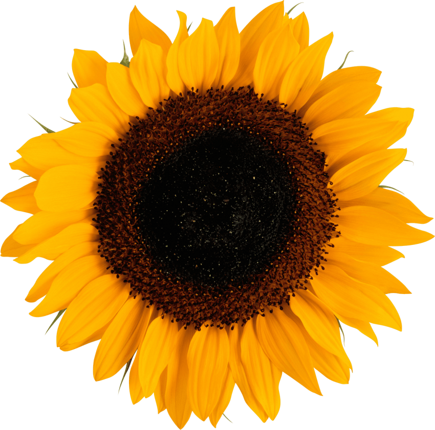Sunflower logo png. Free images toppng transparent
