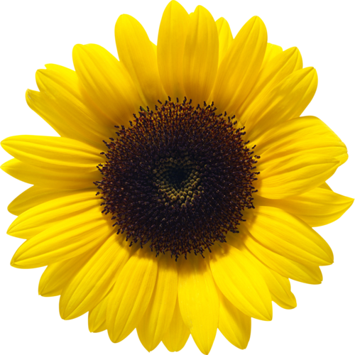 Sunflowers png blue. Sunflower images free download