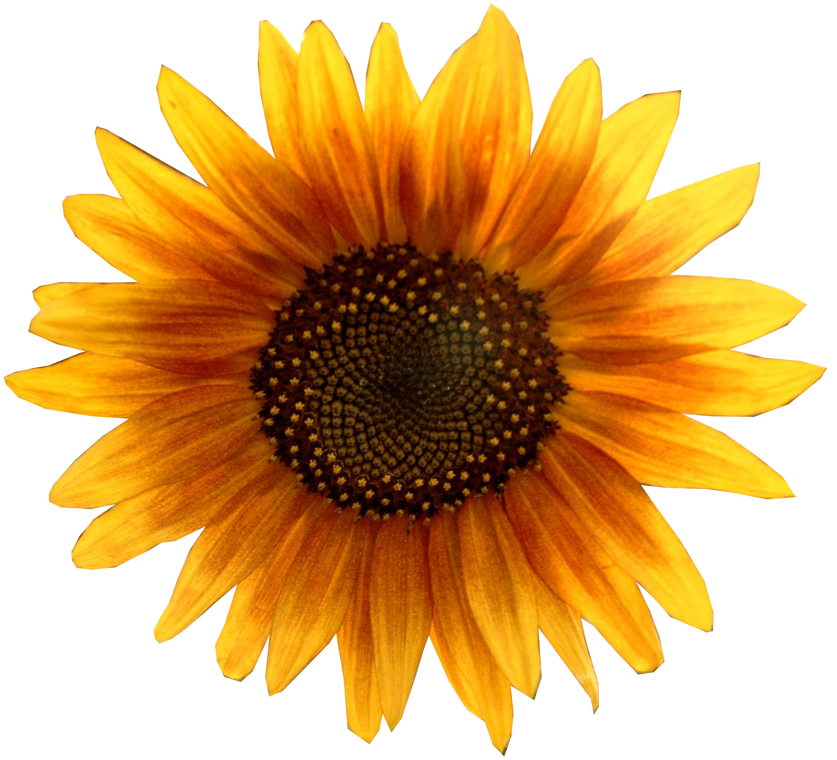 Sunflower .png. Png images free download