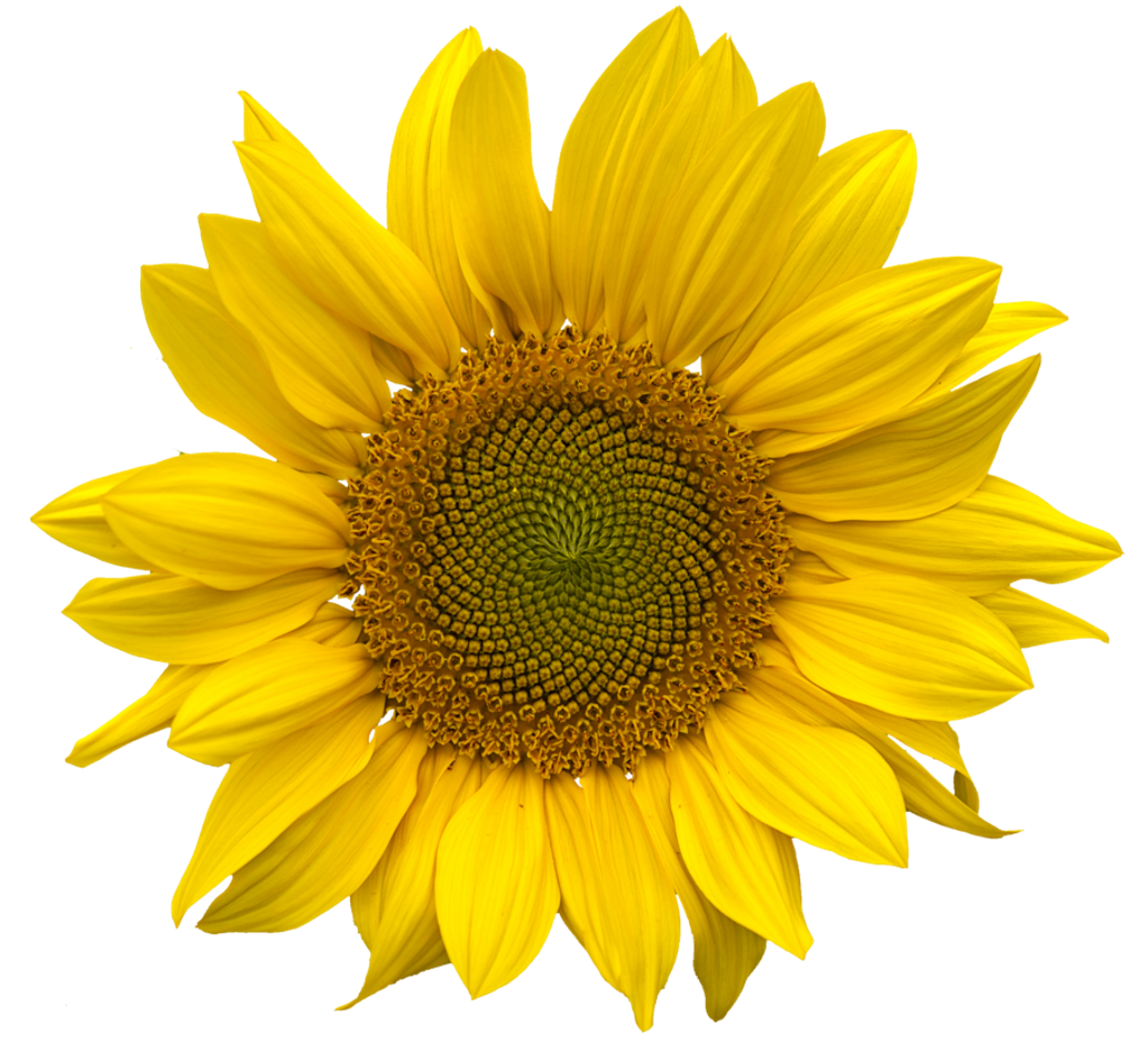 Sunflower png aesthetic. Yellow flower niche moodboard