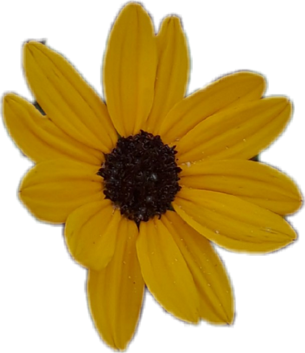 Sunflower png aesthetic. Floral flower yellowaesthetic yello