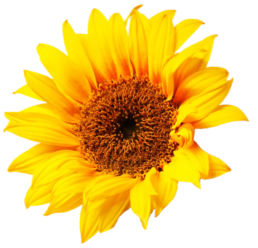 Sunflower png aesthetic. Flower yellow sticker by