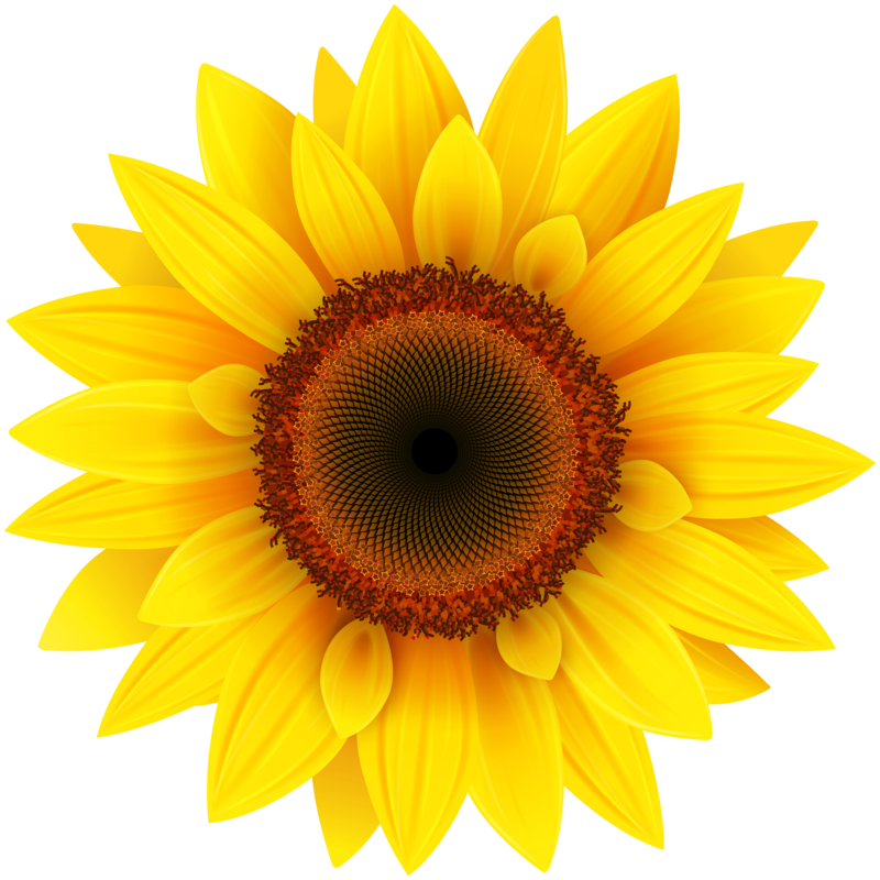 Sunflower png clear background. Download free image with