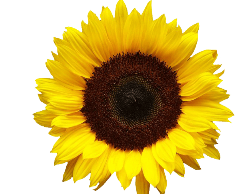 Sunflower png clear background. Image with transparent toppng