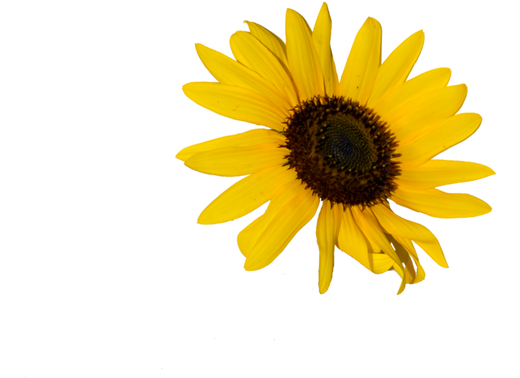 Sunflower png doodle. Download yellow flower image