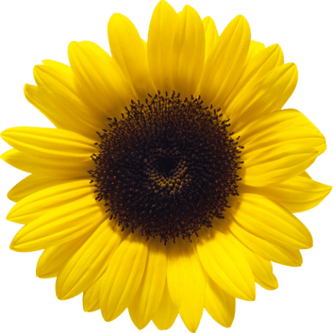Sunflower png images. Free toppng transparent