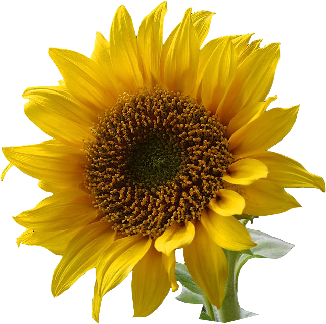 Sunflower png images. Free download
