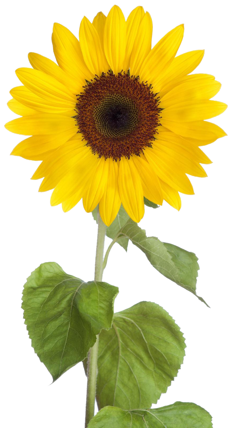 Sunflower png real. Download free dlpng com