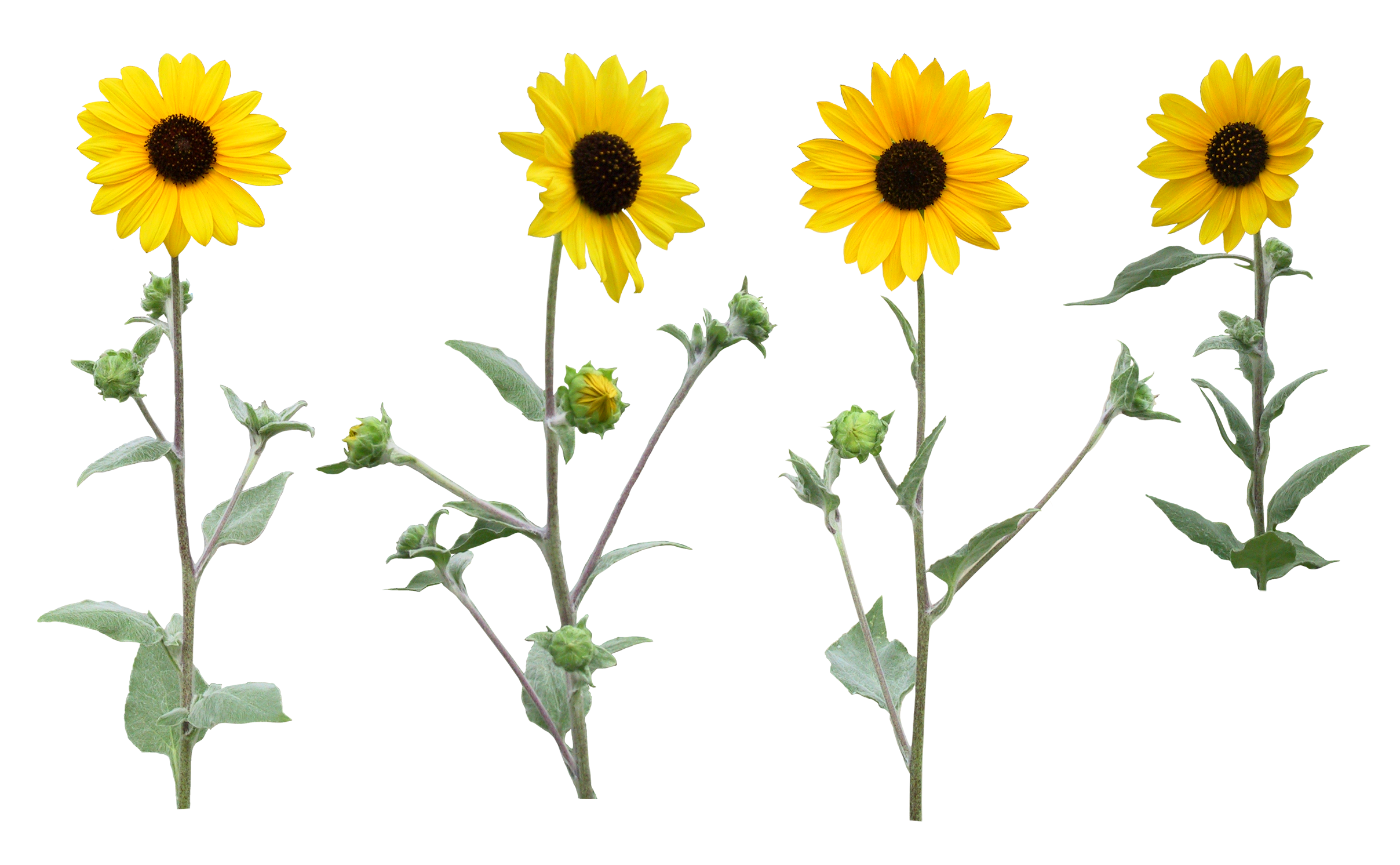 Sunflower png single. Transparent with leaf