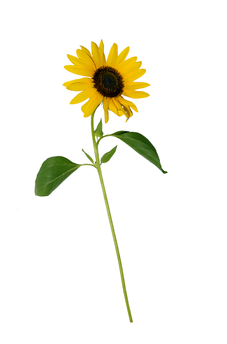 Sunflower png single. Stock copy by annamae