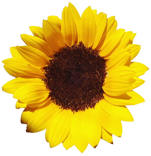 Sunflower png transparent. Sunflowers images all free