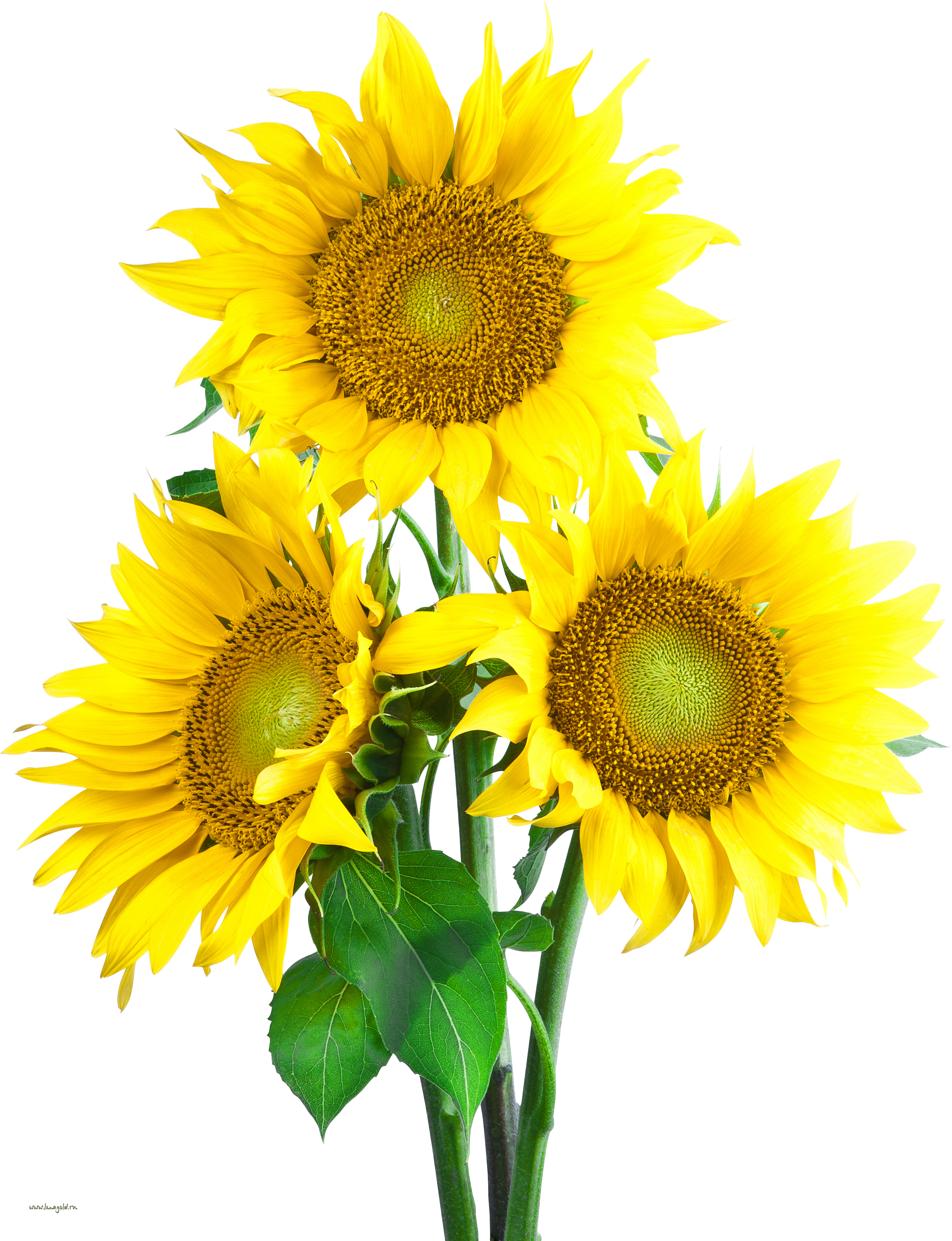 Sunflower png transparent. Images free download