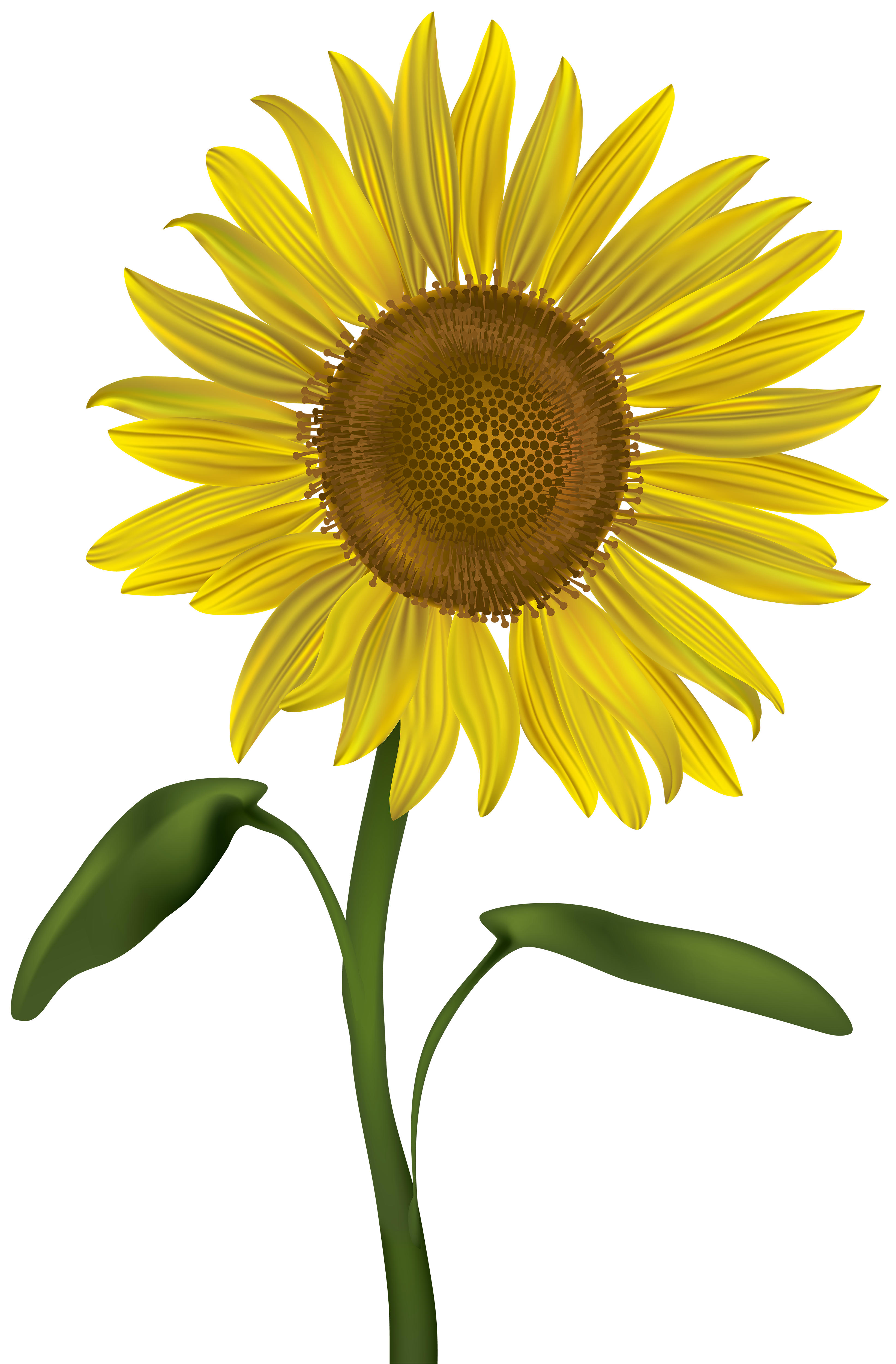 Sunflower png transparent. Clip art image gallery