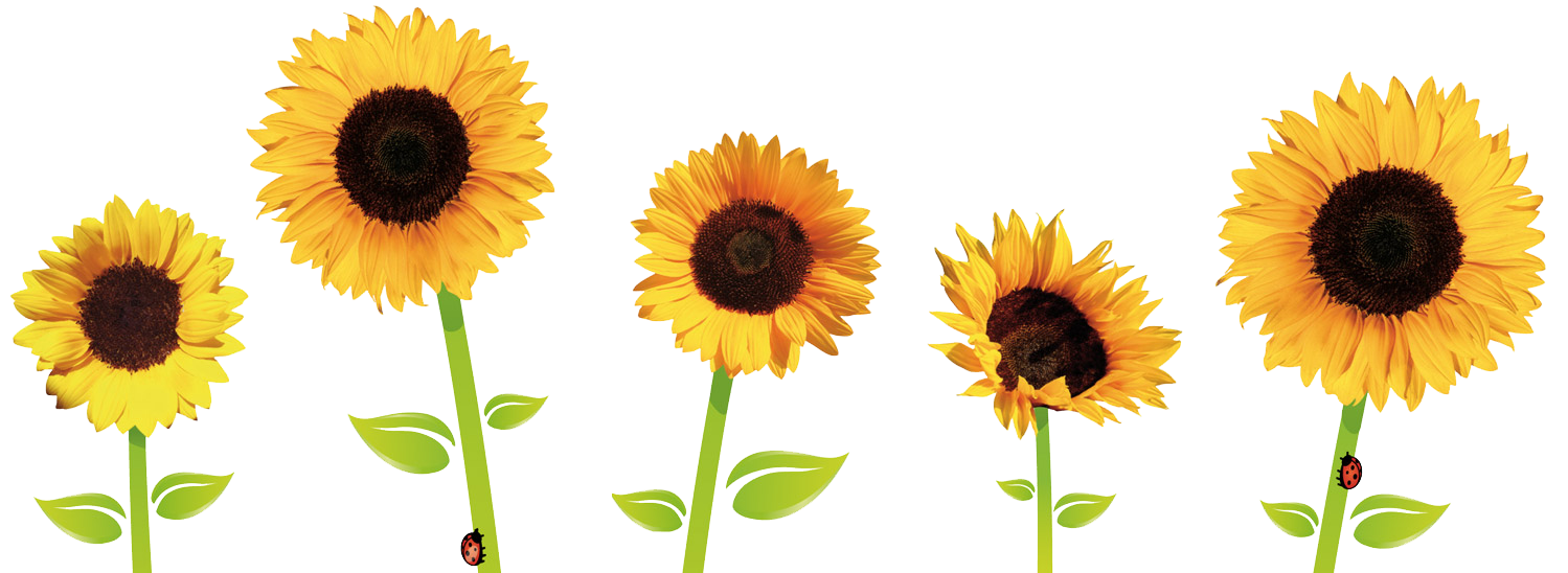 Sunflower png transparent. Sunflowers images pluspng image