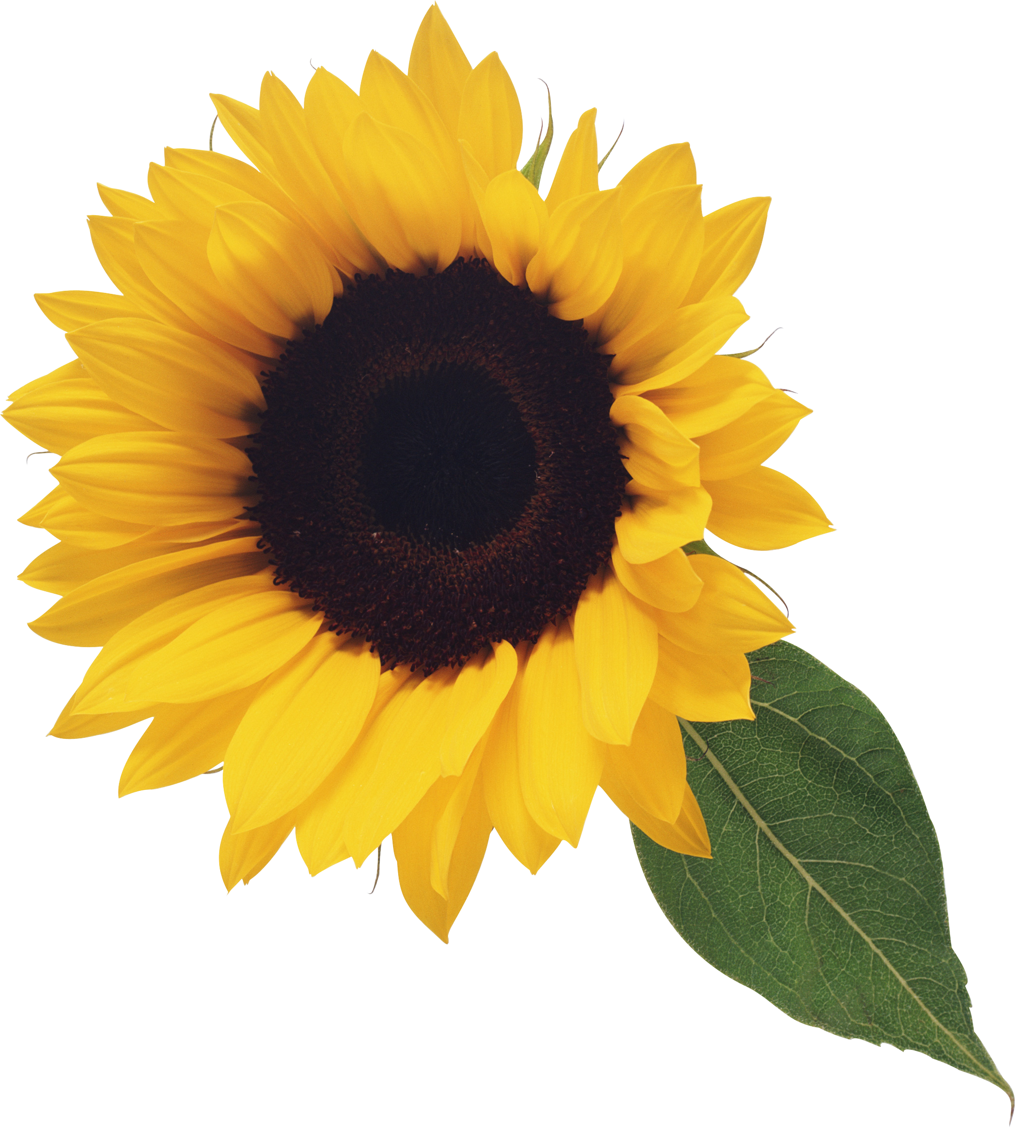 Sunflower png real. Transparent image web icons