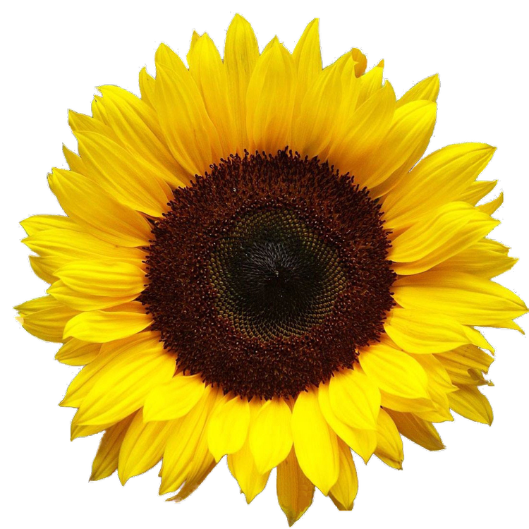 Sunflower png tumblr. Discovered by dani california