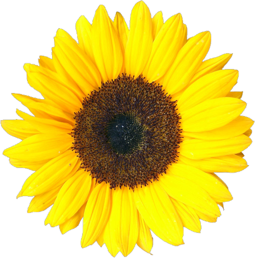 Sunflowers png transparent tumblr. Sunflower i know this