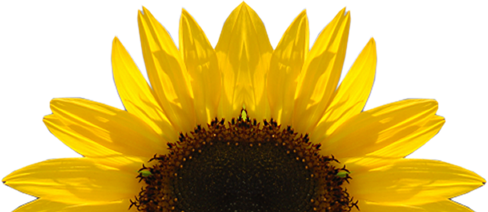 Sunflower vector png. Transparent pictures free icons