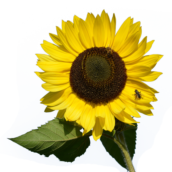 Sunflower watercolor png. Transparent pictures free icons