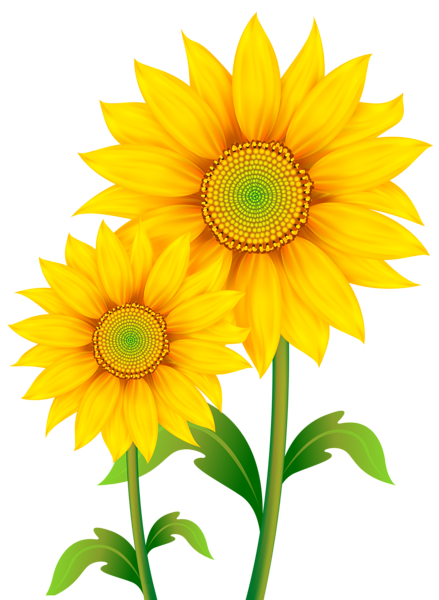Sunflower watercolor png. Transparent sunflowers clipart image