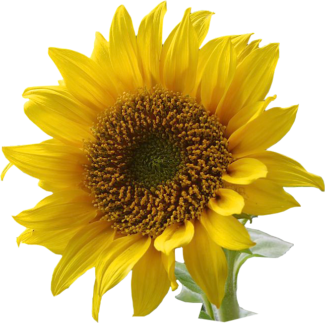 sunflower watercolor png