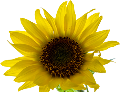 Sunflowers png aesthetic. Professional skin care medical