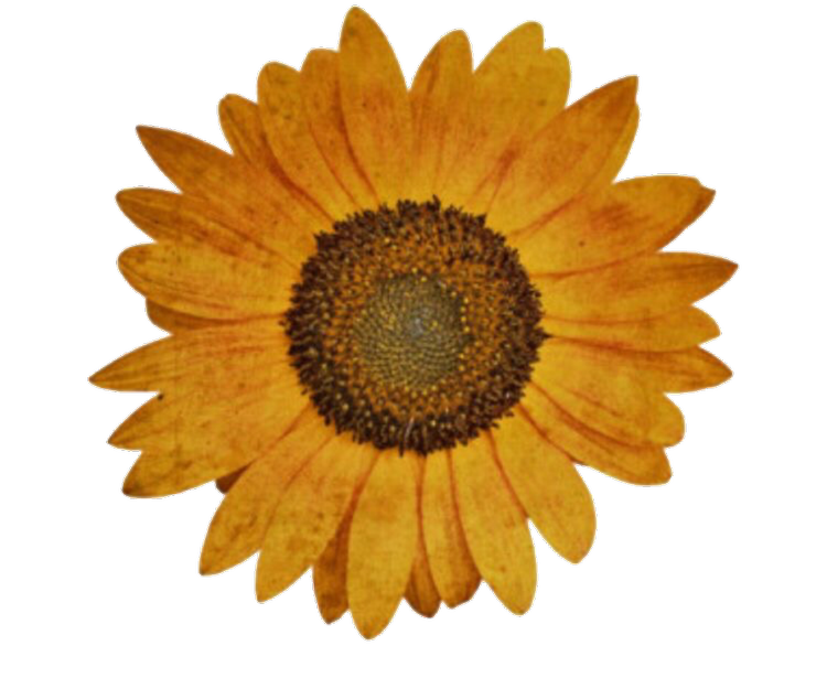 Sunflowers png aesthetic. Image about flowers in