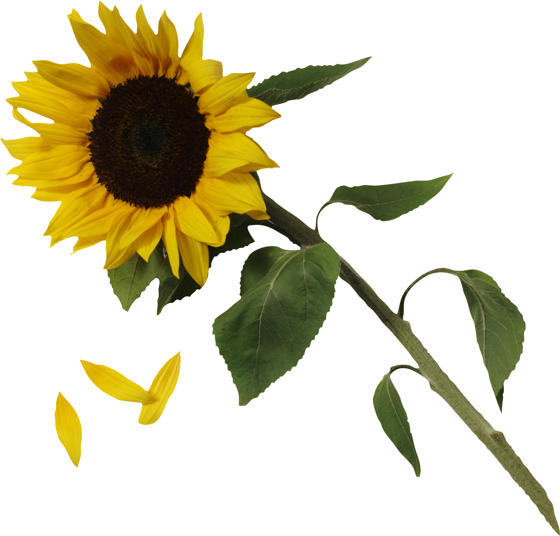 Sunflower png aesthetic. Pin by next on