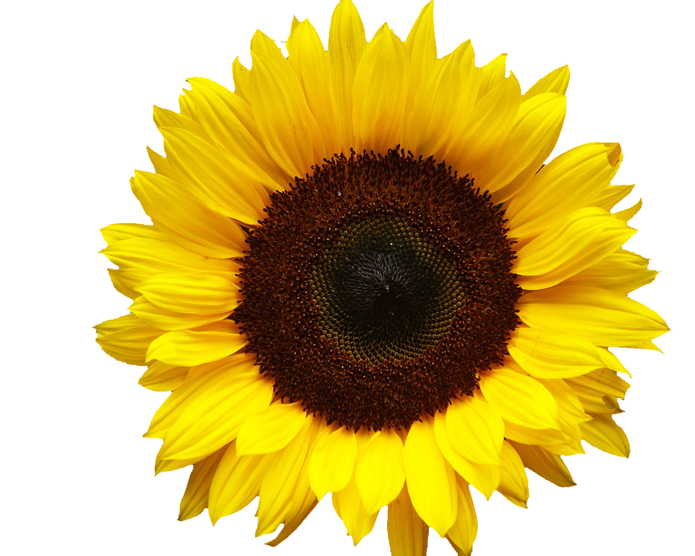 Sunflowers png aesthetic. Google image result for