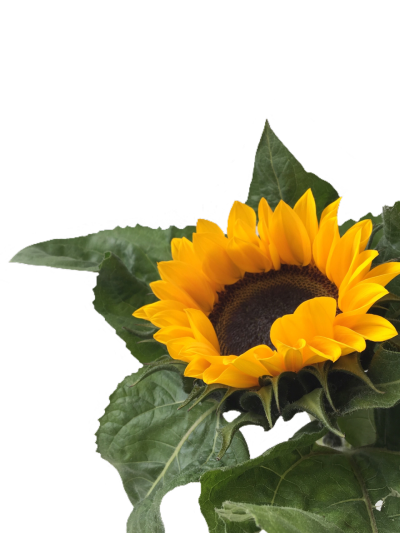 Sunflowers png aesthetic. Image about yellow in