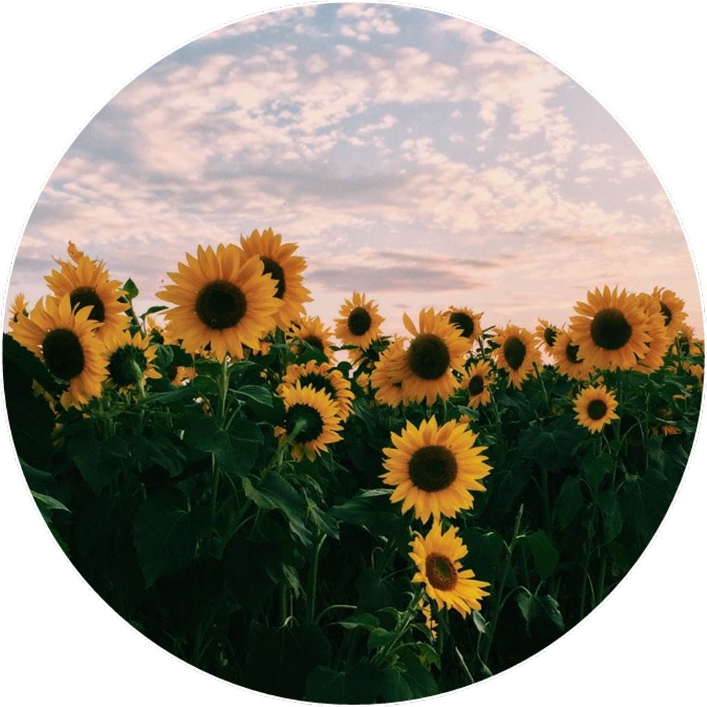 Sunflowers png aesthetic. Yellow flower beautiful