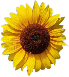 sunflowers png aesthetic