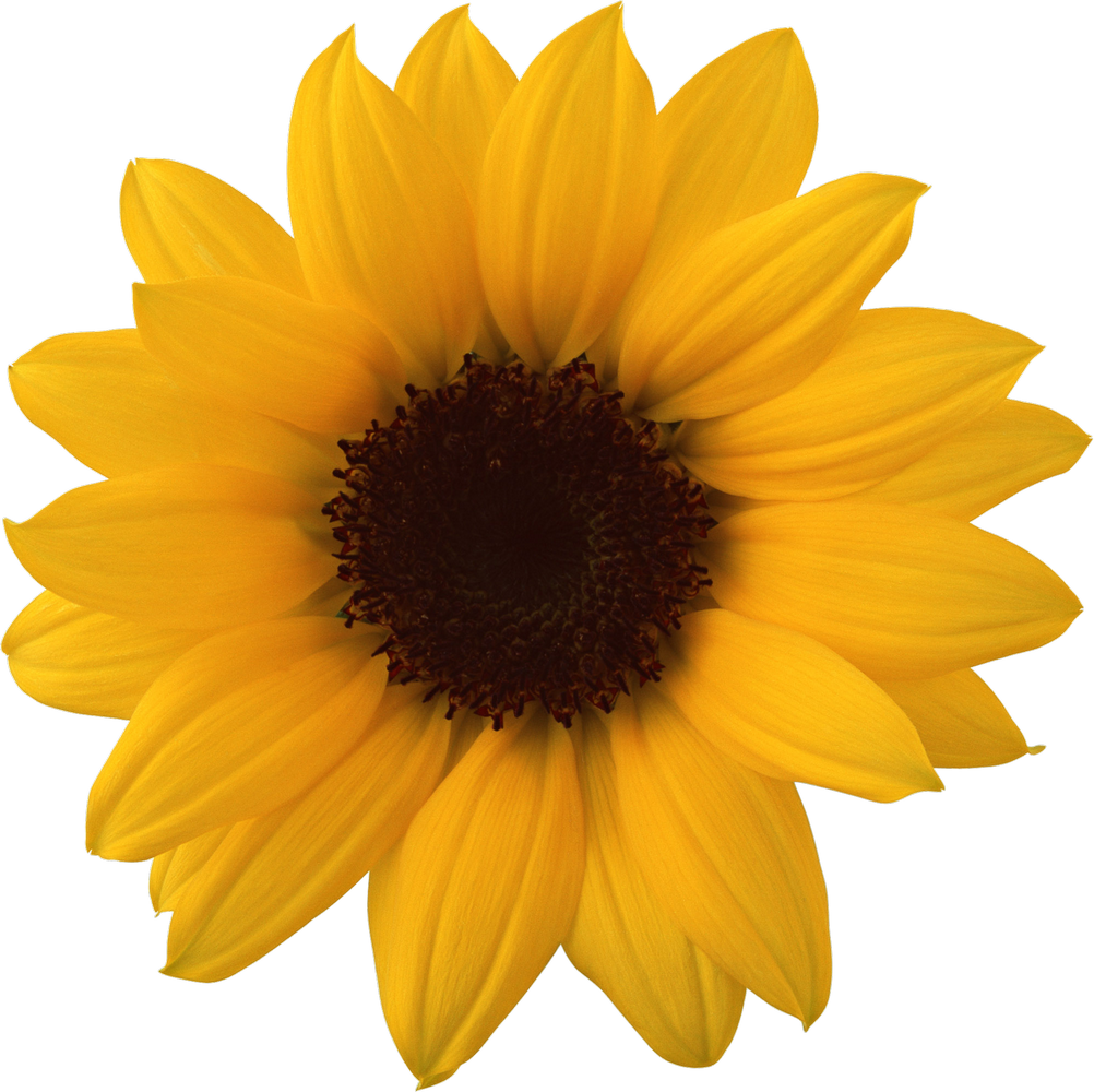 Sunflowers png anong. Sunflower image purepng free