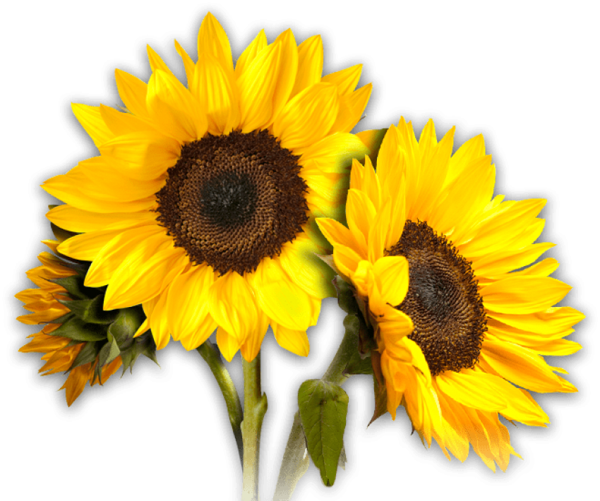 Sunflowers png anong. Sunflower free images toppng
