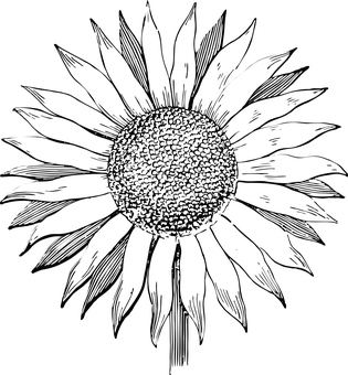 Drawing wall sunflower. Black and white at