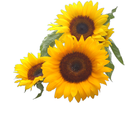 Corner transparent sunflower. Png free icons and