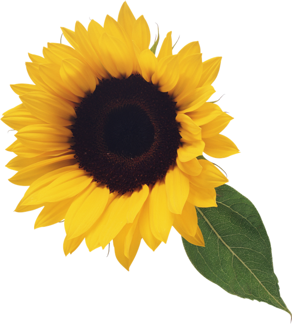 Sunflower clipart real. Sunflowers png image clip