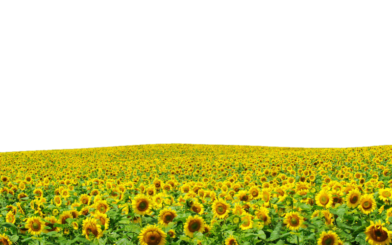 Sunflowers png field. File use anywhere by