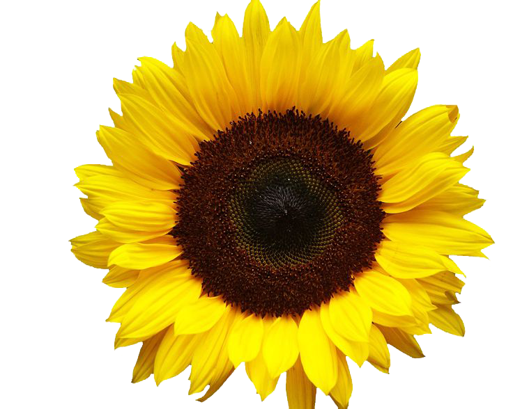 Sunflowers png file. Transparent images all image