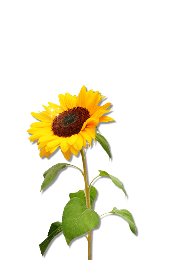 Sunflowers png flower garden. Clipart sunflower download free