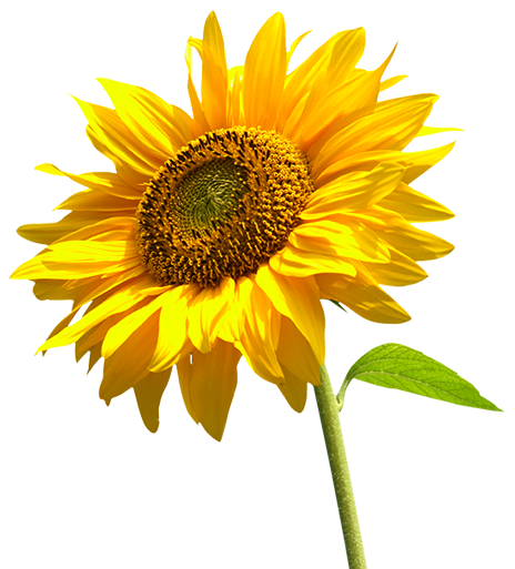 Sunflowers png flower garden. Transparent images all highquality