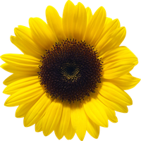 Sunflowers png half. Download sunflower free photo