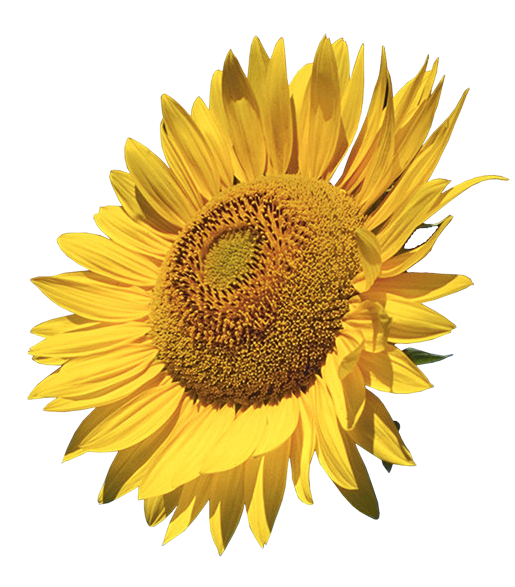 Sunflowers png happy easter. Sunflower clipart gallery yopriceville