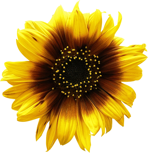 Sunflowers png high resolution. Sunflower image purepng free