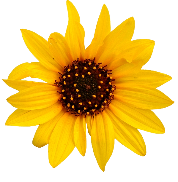 Sunflowers png high resolution. Sunflower images transparent free