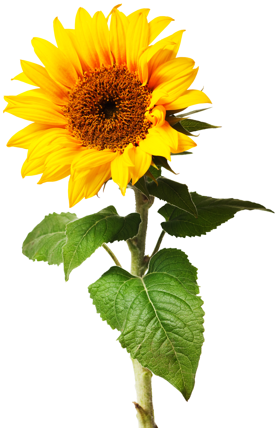 Sunflowers png individual. What is a plant